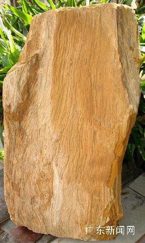 五千万年前木化石